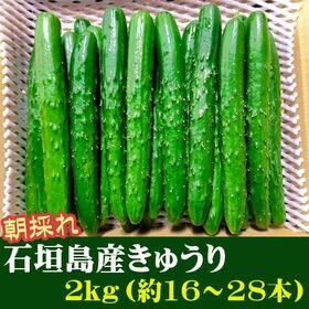 【2kg(約16~28本)】石垣島産 きゅうり