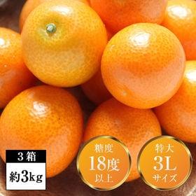 【3箱(約3kg)】完熟フルーツ金柑「大甘(だいかん)」