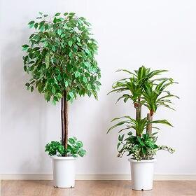 【ベンジャミン+幸福の木】インテリアグリーン 2点セット 鉢...