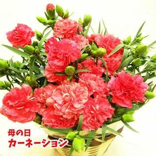 【予約受付】5/9∼順次配送【母の日】カーネーション(5号) レッド系 OR ピンク系