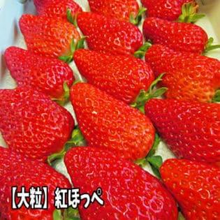 【12粒もしくは15粒入(4L~5L)】福島県産 紅ほっぺ(いちご)