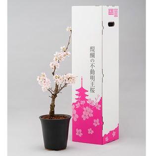 醍醐の不動明王桜